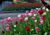 9b-hoa-tulip-tai-the-royal-botanic-garden-sydney--1472470528